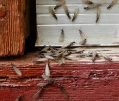 Termites Swarming Near Window